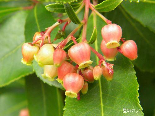 紅花イチゴの木