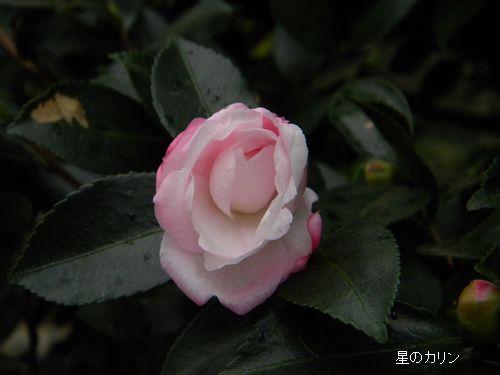 コウギョク(皇玉)3