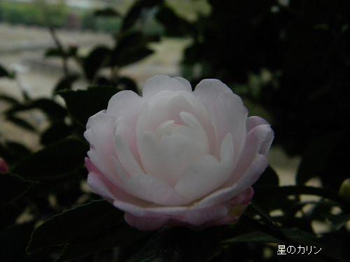 コウギョク(皇玉)2