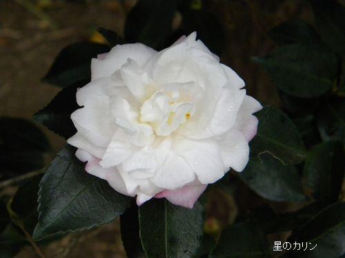 コウギョク(皇玉)