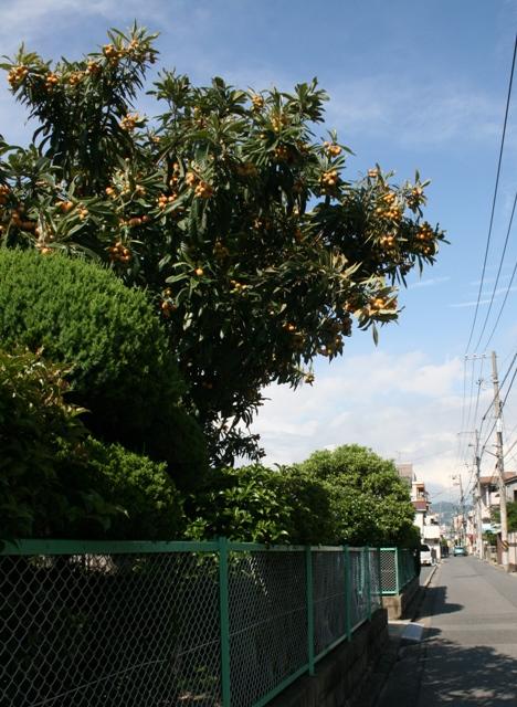IMG_5144 ビワの木 W