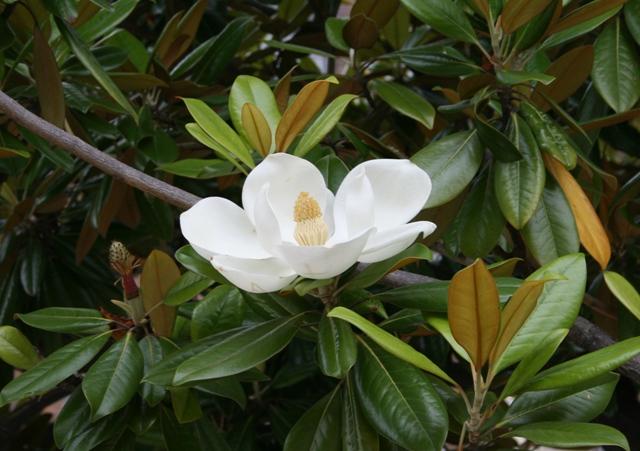 IMG_5237 タイサンボクの花 W