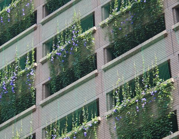 IMG_5511 アサガオのカーテン W