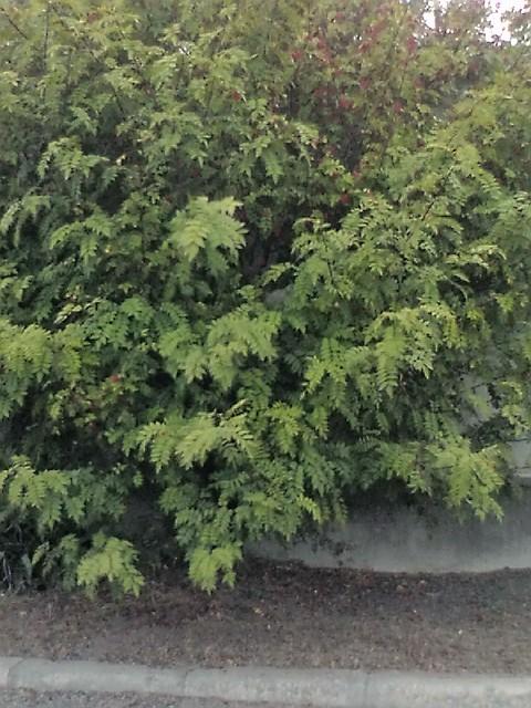 F1000070 山椒の木に・・・ W