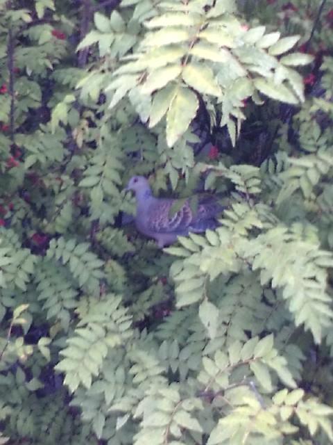 F1000073 山椒の木に山鳩 W