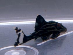 nigrolineatus001