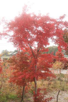 紅葉(*´I`*)