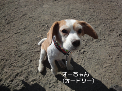 lemon-beagle3 179_1