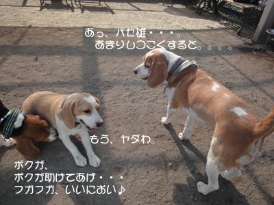 lemon-beagle3 220_1