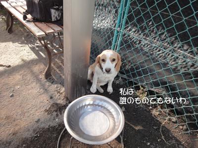 lemon-beagle3 223_1