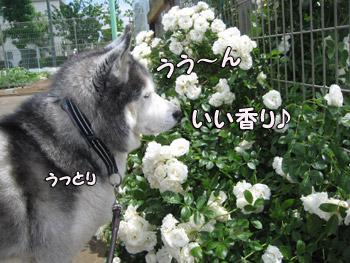 薔薇とトリュフ
