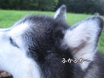 ポトフの耳