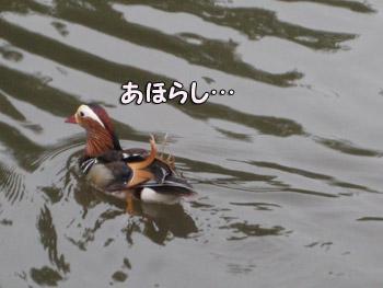 しらけ鳥?