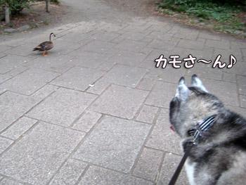 散歩カモさん