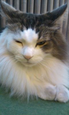 「猫だ!カフェ」のネコ02