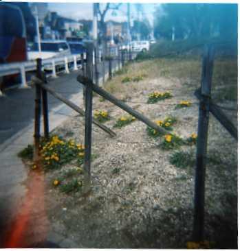 004_極楽のたんぽぽ