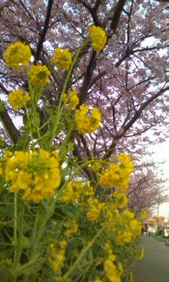 菜の花と河津桜_02