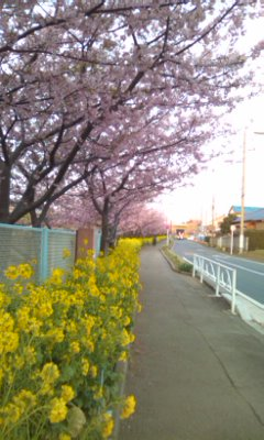 菜の花と河津桜_01