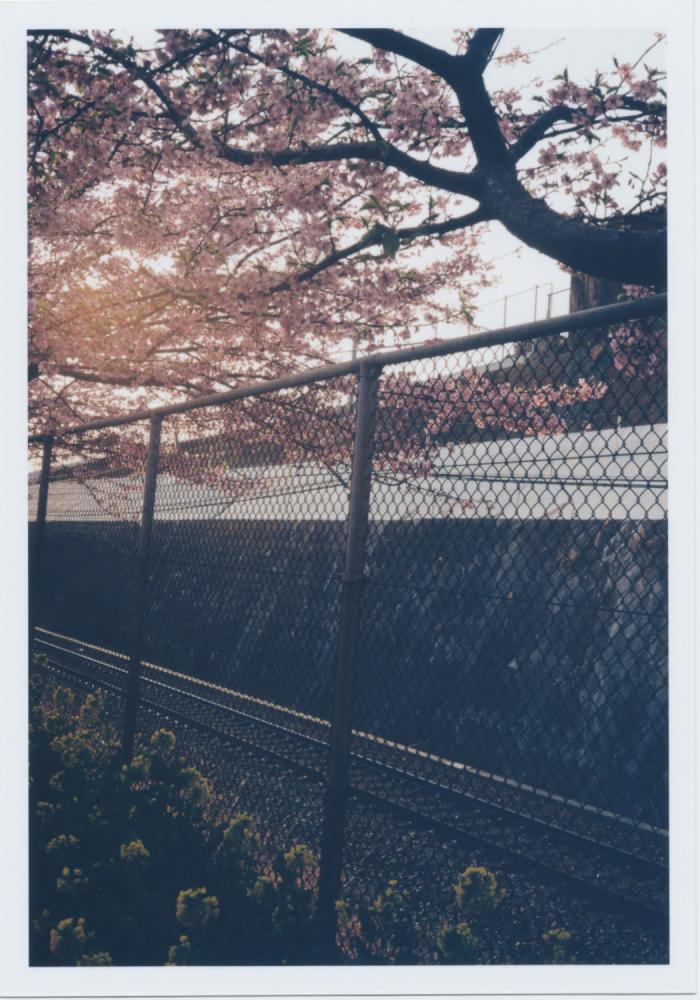 246_桜と菜の花