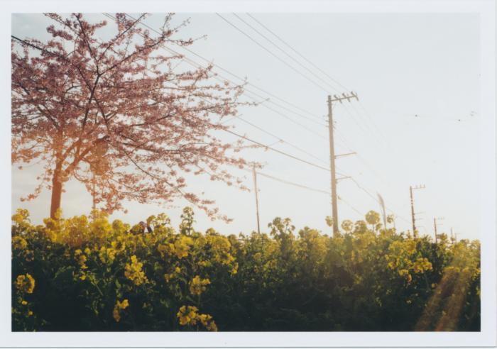 247_夕日に光る河津桜と菜の花