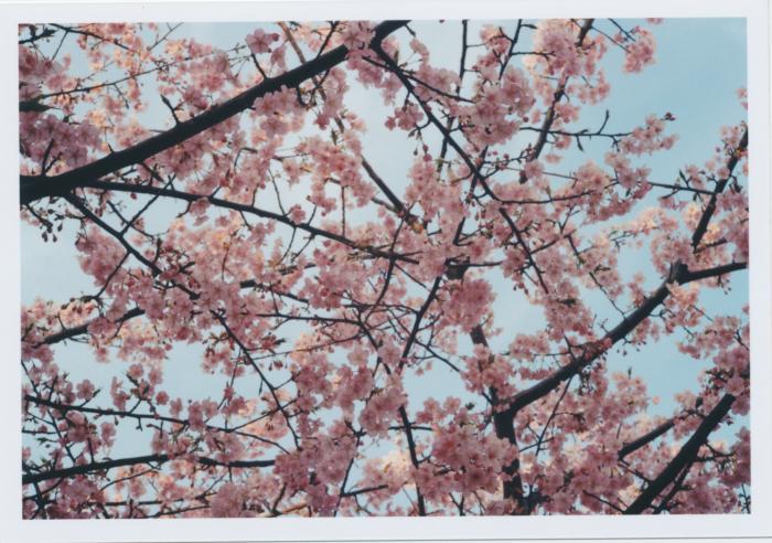 248_河津桜