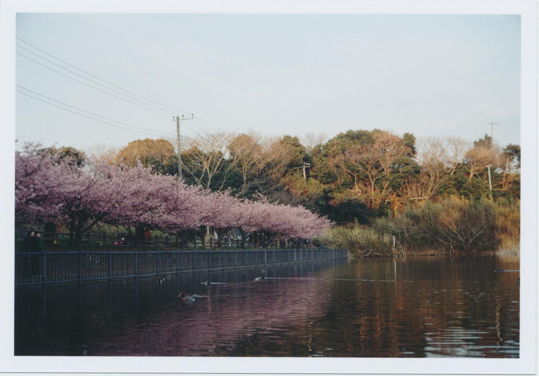 251_冬空の下の河津桜