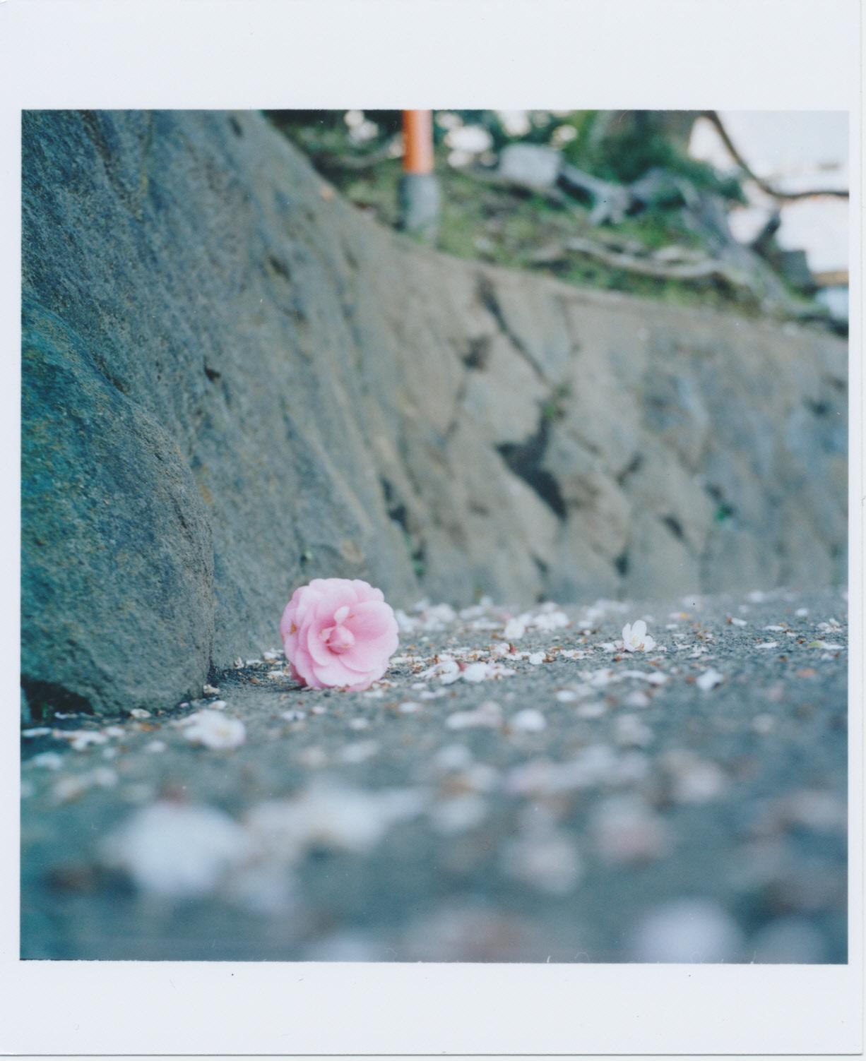 261_桜色の椿