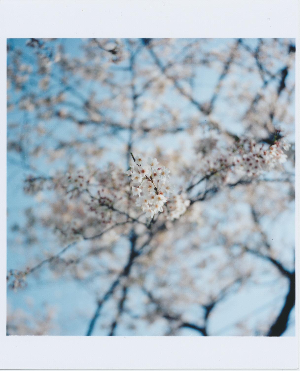 259_博物館前の桜