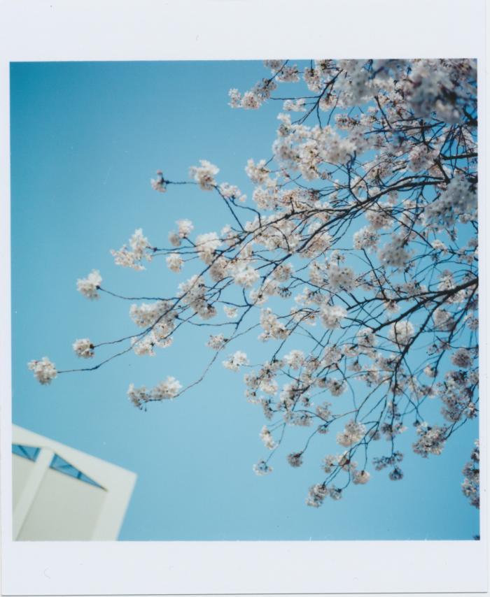 260_博物館と桜