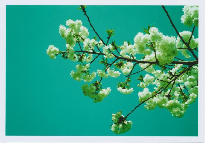 264_白い桜