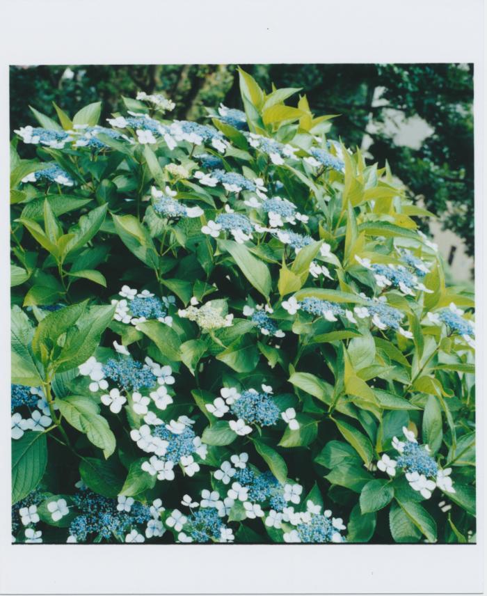 319_紫陽花いっぱい