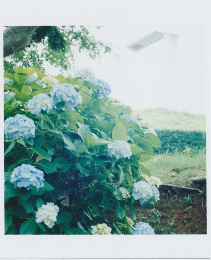 317_紫陽花_逆光