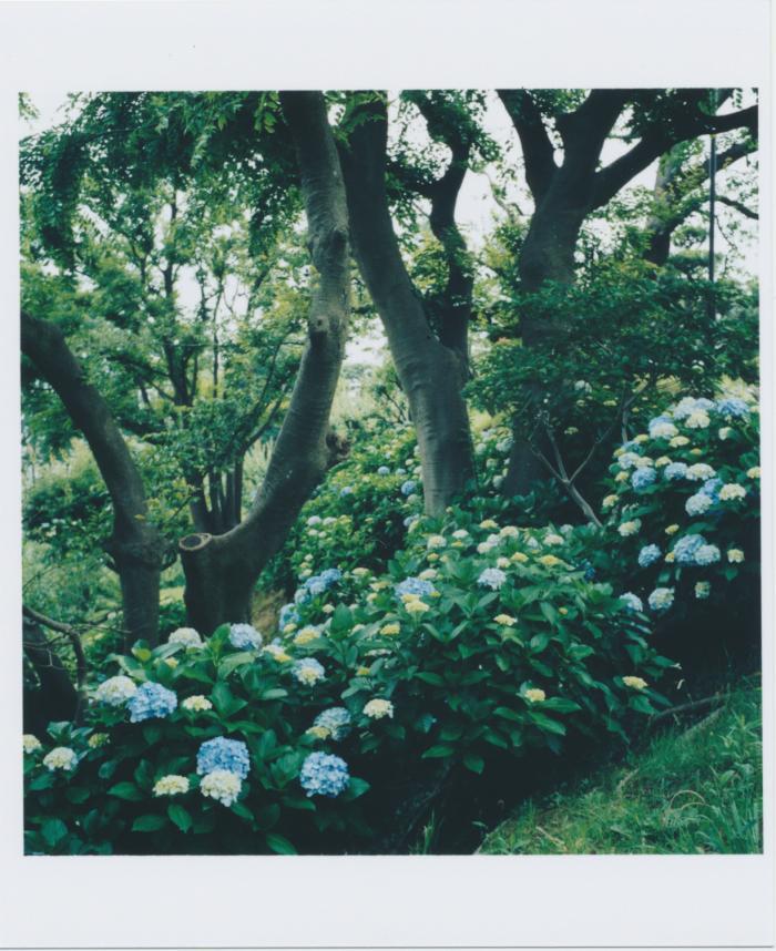 316_近所の公園の紫陽花
