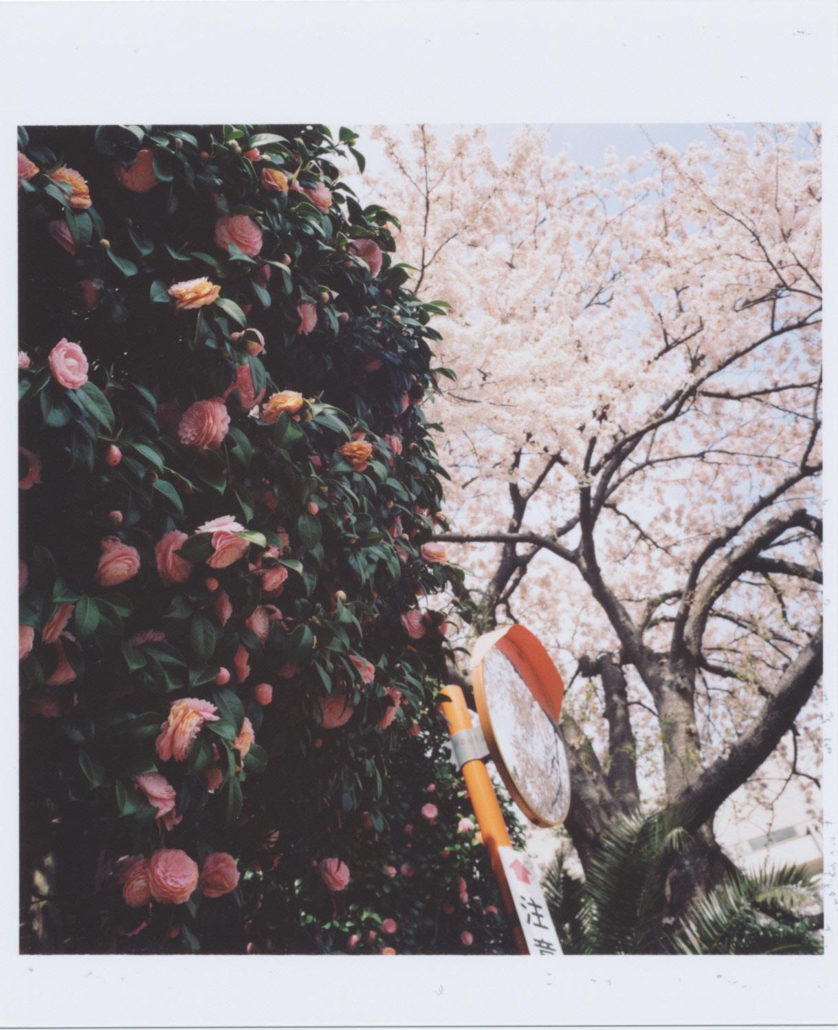 Kodak_PORTRA_400_sakura-tsubaki