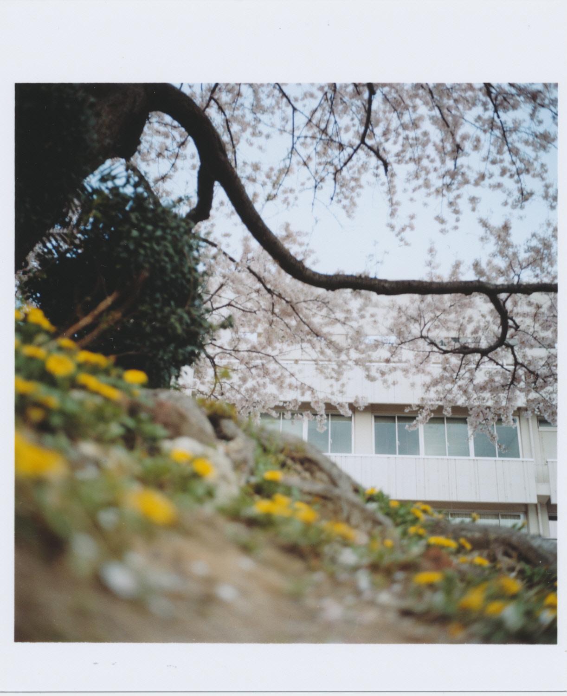 Kodak_PORTRA_400_sakura-tanpopo