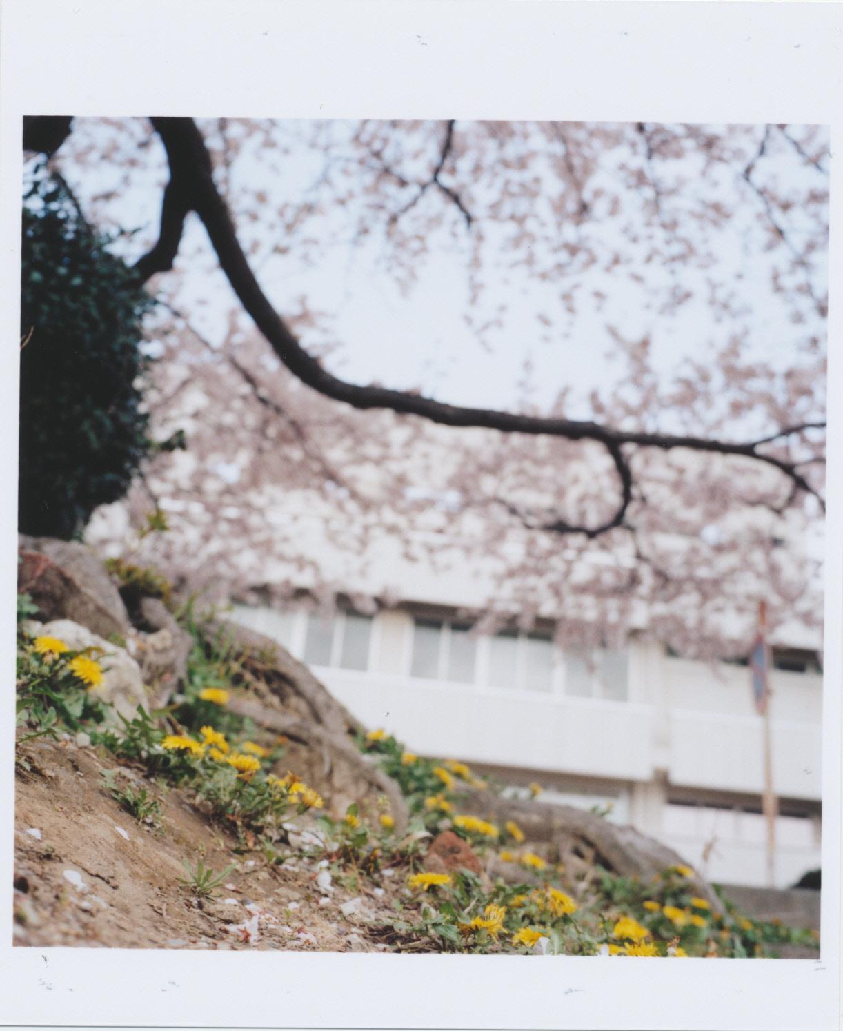 Kodak_PORTRA_400_tanpopo-sakura
