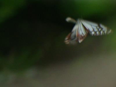 20110618アサギマダラ