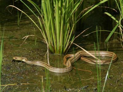 20110801シマヘビ