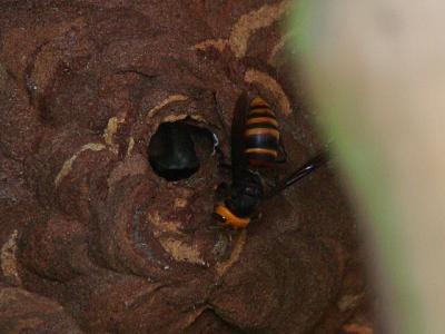 20111009コガタスズメバチ