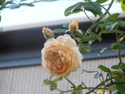 PA190006クラウン・プリンセス・マルガリータ