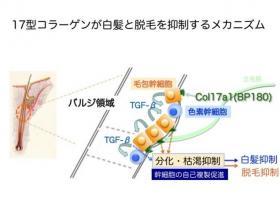 17型コラーゲンのメカニズム