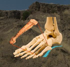 ルーシーの第4中足骨