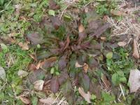 きれぎれの風採 「ロゼット植物」1-1