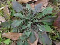 きれぎれの風採 「ロゼット植物」1-2
