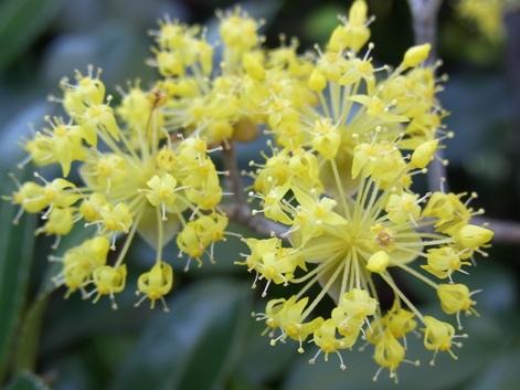「8.日陰の花も撮ってみました。印象が違いますね。右側の放射状の花を数えてみると30本ほどあります。蕾の時には考えられない本数です。」