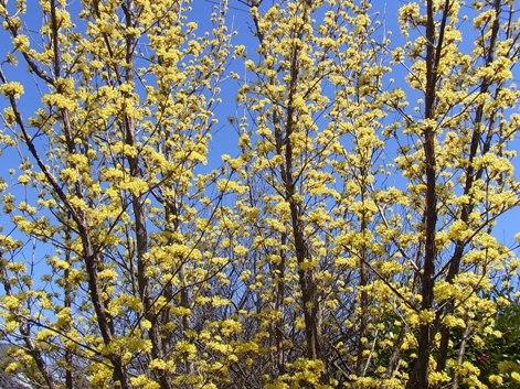 「10.満開の花を沢山つけた枝々の様子です。蕾の頃(上の5.)に比べると・・・違いますね。」