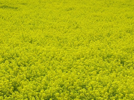 「1.アブラナの花だらけです。黄色の絨毯ですね」