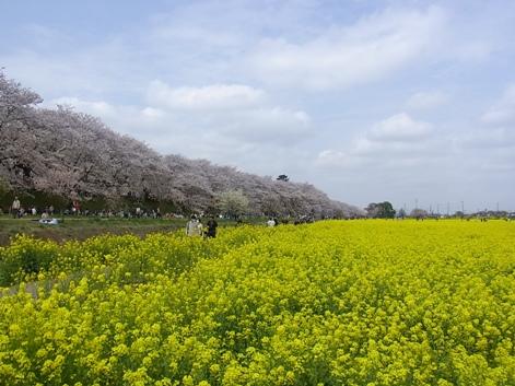 「2.権現堂桜堤ならではの風景です」