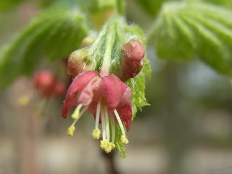 「ハウチワカエデの花と若葉。」