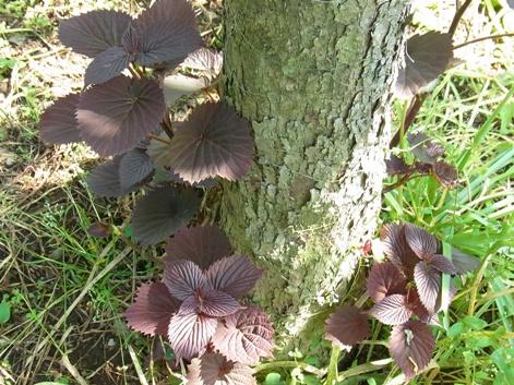 「5.樹皮は鱗状に薄くはがれます」